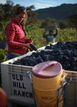 sorting in the vineyard